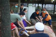 Proses pemotongan hewan qurban oleh karyawan Universitas Nasional di area Masjid Sutan Takdir Alisjahbana, Selasa 20 Juli 2021