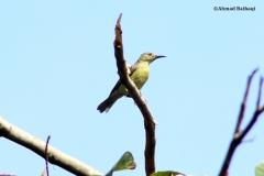 Ahmad Baihaqi_Burung Madu Kelapa