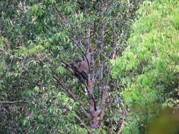 Presbytis Melalophos – Primata Endemik Sumatra Yang Terancam